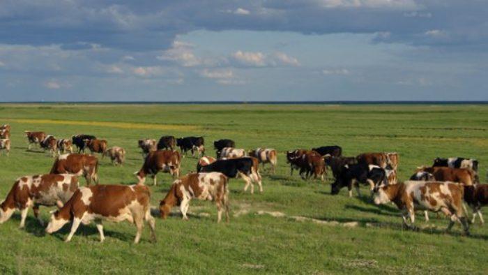 Büyükbaş Hayvancılık Destek Faaliyetleri