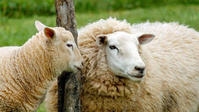 Koyun Yetiştiriciliği ve Kredi Destekleri