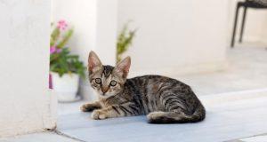 Tekir Kedilerin Özellikleri ve Bakımı | bilgibankan.com