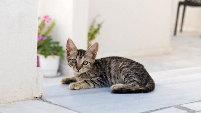 Tekir Kedilerin Özellikleri ve Bakımı   bilgibankan.com