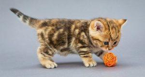 Tekir Kedilerin Diş Bakımı, Tırnak Bakımı ve Yemekleri | bilgibankan.com