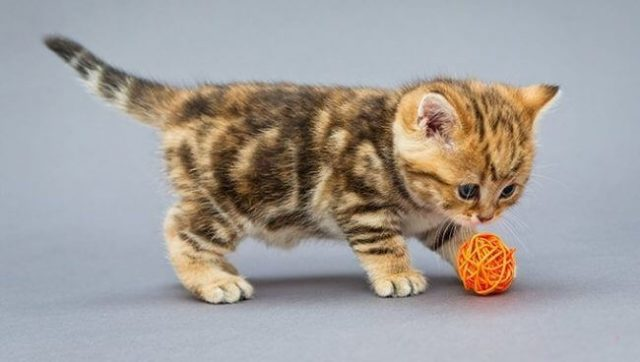 Tekir Kedilerin Diş Bakımı, Tırnak Bakımı ve Yemekleri   bilgibankan.com