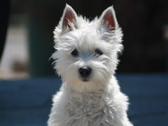 İskoç Terrier Özellikleri | bilgibankan.com